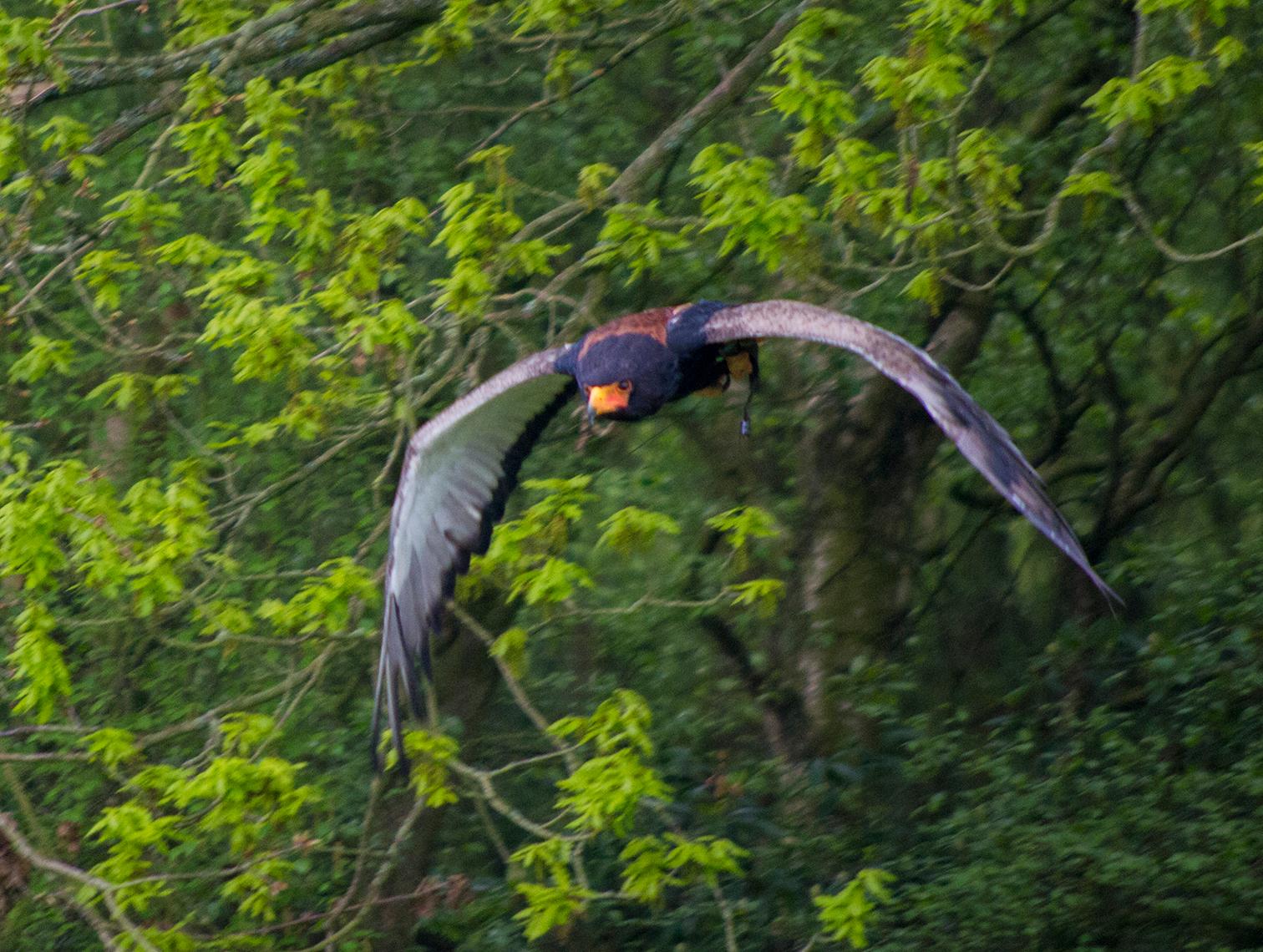 Cheshire falconry (1)