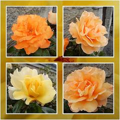 100 % roses,,