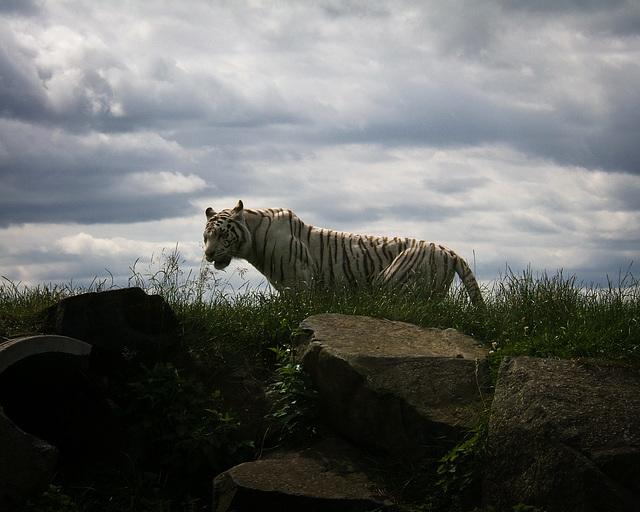 White Tiger at West Midlands Safari Park