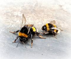 Bee Mating !!