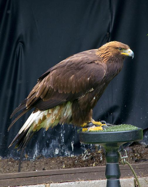 Cheshire falconry (2)
