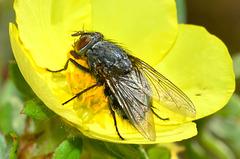 Bluebottle. Blow Fly. Calliphora vomitoria