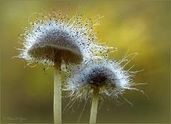 Besuikerde paddootjes  ♥           Ze zijn behangen met de Mycenaparasiet (Spinellus fusiger)...