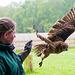 Cheshire falconry (3)