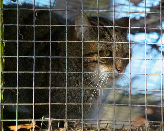 Captive Scottish Wildcat