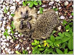 Mrs Hedgehog takes her ease;-)