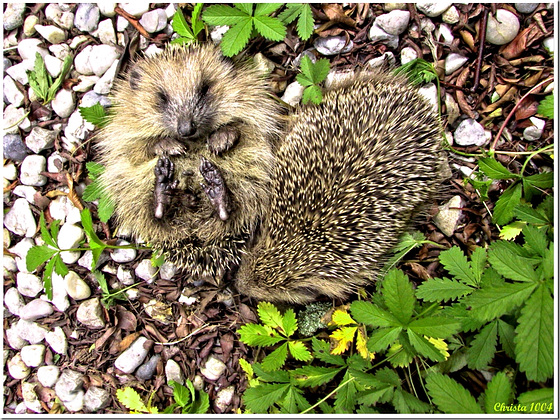 Mrs Hedgehog takes her ease;-)