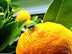 Green Shield Bug On Tangelo.