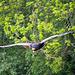 Cheshire falconry (4)