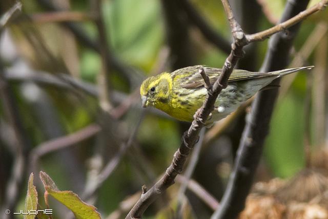Verdecillo (Serinus serinus)(♂)