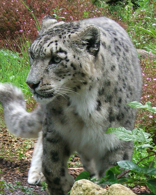 Snow Leopard at Marwell 3