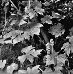 Vine leaves, cuckoo pint.