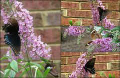 'Florence' Butterflies ...