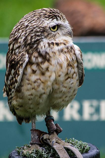 Cheshire falconry (6)