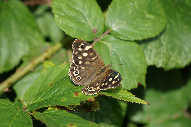 Speckled Wood Butterfly - 24 August 2015