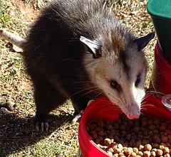 Young Possum feeding ! 3-1-2018