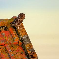 Chevêche d'Athéna (Athene noctua - Little Owl)