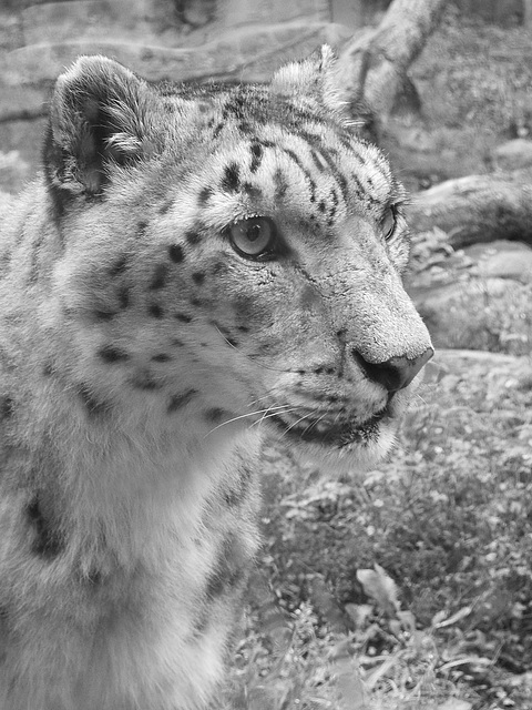 Snow Leopard at Marwell 1
