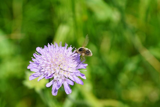 Winzige Biene an Witwenblume
