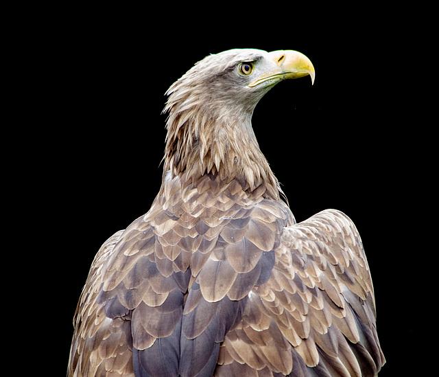 Cheshire falconry (8)