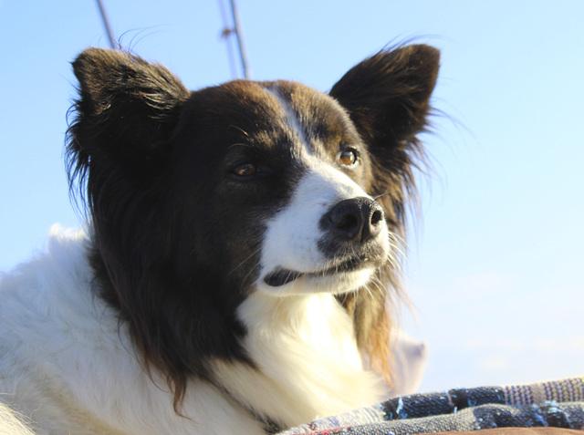 The sailing dog