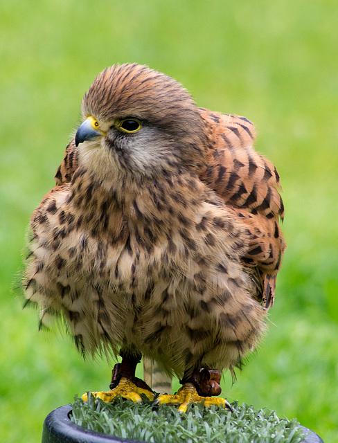 Cheshire falconry (9)