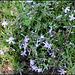 Phlox mousse (2)