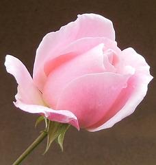 R comme la couleur ROSE de la ROSE