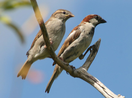 Good Morning House Sparrows recover and make a comeback 01