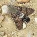 20170520 1700CPw [A] Taubenschwänzchen (Macroglossum stellatarum), Neusiedler See