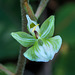 Ponthieva racemosa (Shadow-witch orchid)