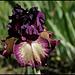 Iris Epicenter (2)