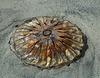 La réponse , une méduse à ombrelle , régime alimentaire des thons , tortues ........