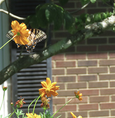 Eastern Tiger SwallowTail -
