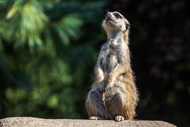 20150911 8876VRAw [D~HF] Erdmännchen (Suricata suricatta), Tierpark, Herford