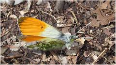 Aurorafalter (Anthocaris cardamines)
