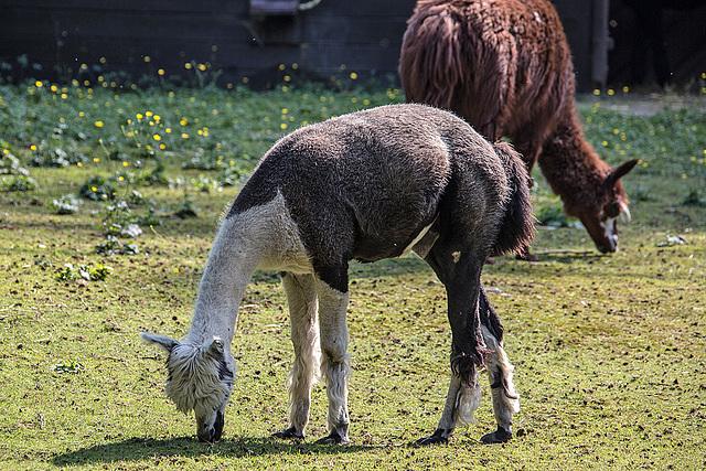 20150911 8877VRAw [D~HF] Alpaka (Lama pacos oder Vicugna pacos), Tierpark, Herford
