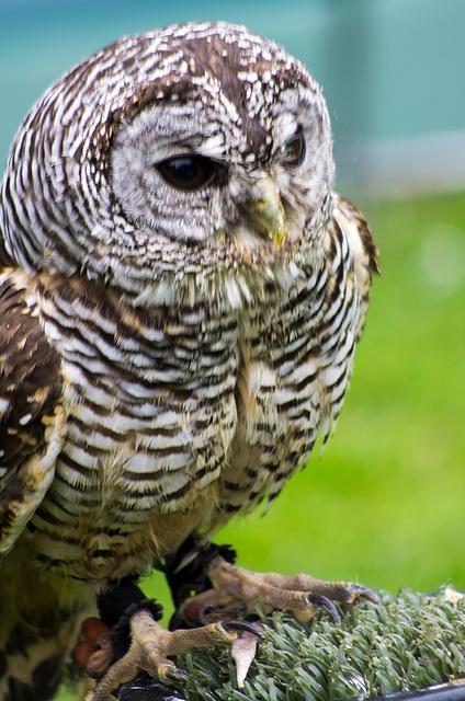 Cheshire falconry (12)
