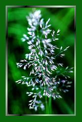 Just a blade of grass. ©UdoSm