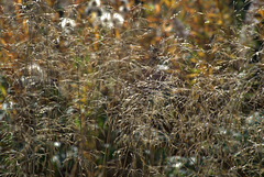 A Fluff Of Grasses