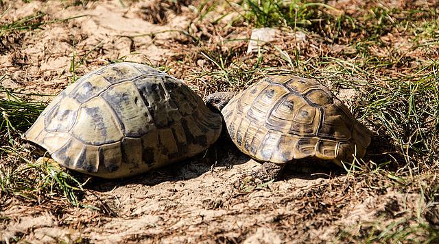20150911 8878VRAw [D~HF] Griechische Landschildkröte (Testudo hermanni), Tierpark, Herford