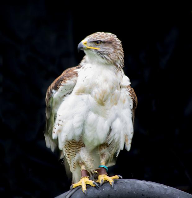 Cheshire falconry (13)