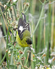 Lesser Goldfinch (Male - Western Form)