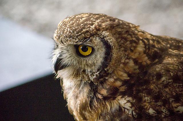 Cheshire falconry (14)