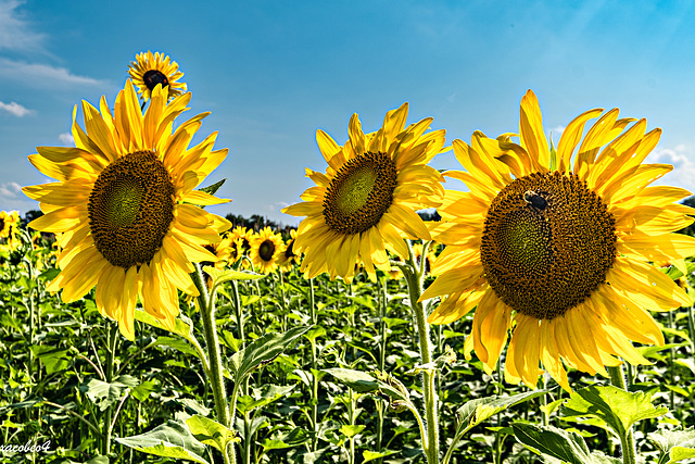 Three Sunflowers and the Bee