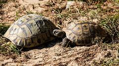 20150911 8880VRAw [D~HF] Griechische Landschildkröte (Testudo hermanni), Tierpark, Herford