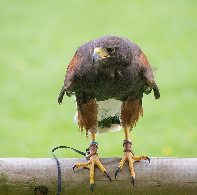 Cheshire falconry (15)