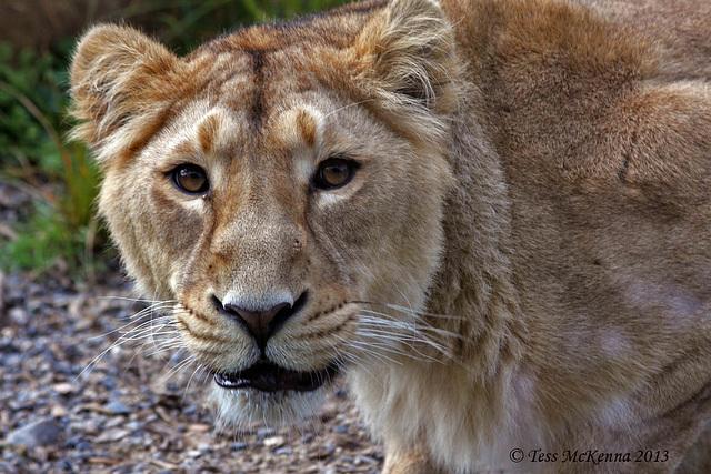 Lioness Explore  3 008