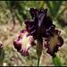 Iris Epicenter