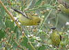 Lesser Goldfinch Pair (Western Form)